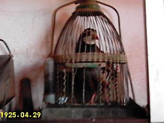 MOCHUELO en su jaula.