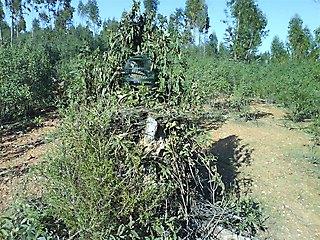 Entre jaras y eucaliptos