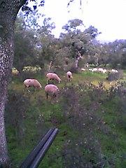 De repente me arrollaron las ovejas cuando estaba recibiendo, pues mas cantaba el.